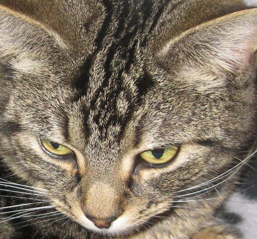 Adoptable Cats, Looby in Bury St Edmunds - adoptable co uk